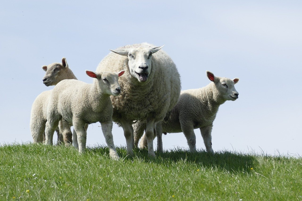sheep, farm, lambs